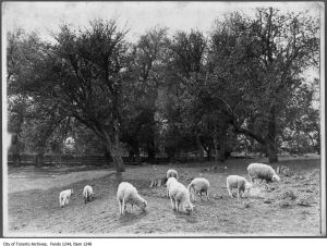 Grazing sheep, Don Mills farm - [1909?]